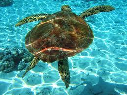 zakints kornjaca