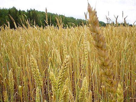 pšenične klice